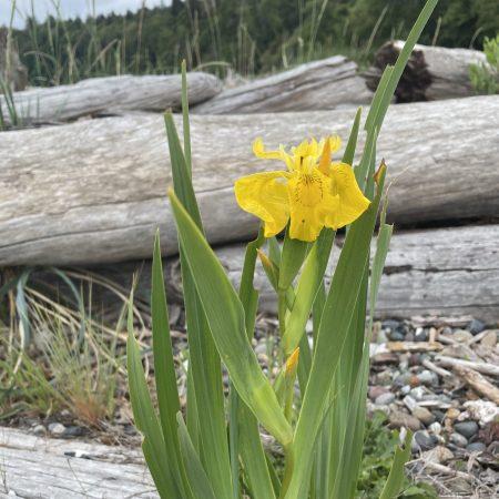Blake Island Daffodil